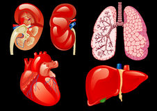 Internal organs set Stock Photography