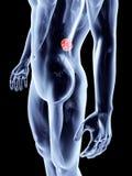Internal Organs - Spleen Stock Photos
