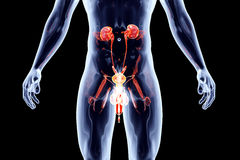 Internal Organs - Urinary system with genitals Stock Images