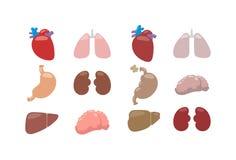 Internal organs vector illustration. Stock Image