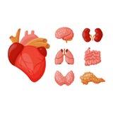 Internal organs vector illustration. Royalty Free Stock Image