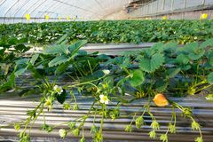 Strawberries hothouse. The internal scenery of strawberries hothouse royalty free stock photos