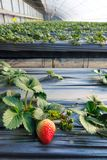 Strawberries hothouse. The internal scenery of strawberries hothouse royalty free stock image