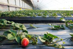 Strawberries hothouse. The internal scenery of strawberries hothouse stock photography