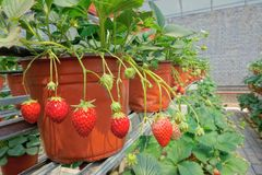 Strawberries hothouse. The internal scenery of strawberries hothouse stock photo