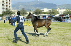 International Arabian Horses Cup, Sicily Italy Stock Image