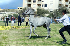 International Arabian Horses Cup, Sicily Italy Royalty Free Stock Image