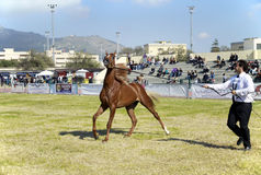 International Arabian Horses Cup, Sicily Italy Royalty Free Stock Photos