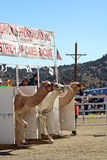 International Camel Races in Virginia City, NV, US Stock Photography