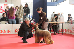 International dog show. In Genova, the time of evaluation of a dog by the jury royalty free stock image