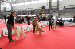 International dog show. In Genova, the time of evaluation of some dogs by the jury royalty free stock photo