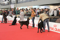 International dog show. In Genova, the time of evaluation of some dogs by the jury stock image