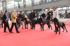 International dog show. In Genova, the time of evaluation of some dogs by the jury royalty free stock image