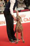 International dog show. In Genova, the time of evaluation of a dog by the jury stock photography
