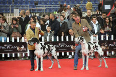 International dog show. In Genova, the time of evaluation of a dog by the jury stock photo