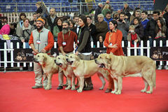 International dog show. In  Genova,  the time of evaluation of a dog by the jury royalty free stock images