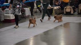 International Dog Show CACIB-FCI stock video