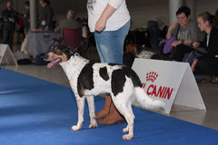 International dog show Duo CACIB in Brno Royalty Free Stock Images