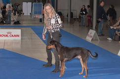 International dog show Duo CACIB in Brno Royalty Free Stock Photo