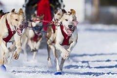 International Dog sledding race Royalty Free Stock Image