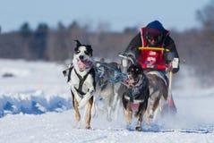 International Lanaudiere Dog sledding race Royalty Free Stock Photography