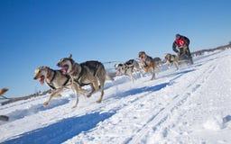 International Lanaudiere Dog sledding race Royalty Free Stock Images