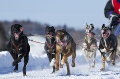 International Lanaudiere Dog sledding race Stock Photos