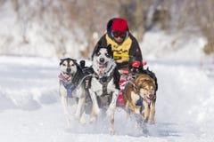 International Lanaudiere Dog sledding race 2015 Stock Images