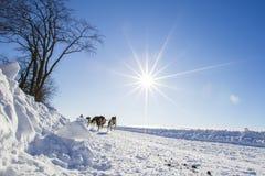 International Lanaudiere Dog sledding race 2015 Royalty Free Stock Photography