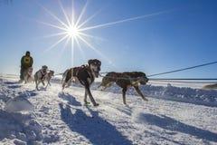 International Lanaudiere Dog sledding race 2015 Royalty Free Stock Photos