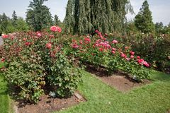 International Rose Test Garden Royalty Free Stock Photo