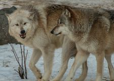 The International Wolf Center in Ely, Minnesota houses several G royalty free stock images