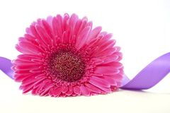 International Women`s Day pink gerbera with symbolic purple ribbon. On white wood table Royalty Free Stock Images