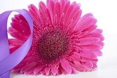 International Women`s Day pink gerbera with symbolic purple ribbon. On white wood table Royalty Free Stock Photos