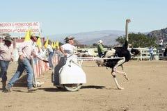 Internationale Kamel-Rennen in der Virginia-Stadt, Nanovolt, US Stockfoto