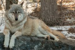 Internationale Wolf Center in Ely, Minnesota bringt einiges G unter stockfoto
