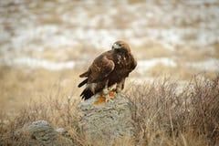 Internationales Turnier von Meistern von Jagd mit Jagdvögeln Stockfotos