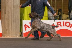 22. INTERNATIONELLA HUNDSHOW GIRONA 2018, Spanien, Stichelhaar royaltyfri bild