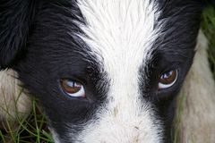 Internatsschüler Collie Eyes stockfotos