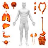 Interne organen - Menselijke anatomie royalty-vrije illustratie