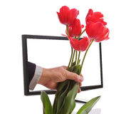 Internet Flowers Delivered. Red Tulips delivered from the internet emerging from a LCD computer monitor isolated on a white background Royalty Free Stock Images