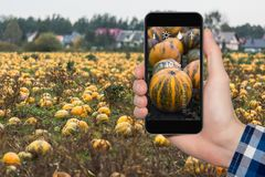 Internet of things in agriculture. Hand with phone on a background of pumpkins field. On the screen condition and size measurement icons Stock Photos