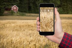 Internet of things in agriculture. Hand with phone on a background of wheat field. On the screen condition measurement icons. Internet of things in agriculture Stock Photo