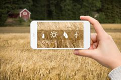 Internet of things in agriculture. Hand with phone on a background of wheat field. On the screen condition measurement icons. Internet of things in agriculture Royalty Free Stock Photo