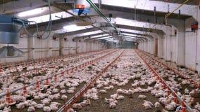 Interno dell'azienda avicola con i polli di migliaia stock footage
