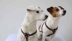 Interno di due Jack Russell Terrier a casa video d archivio