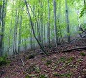 Interno di una foresta del faggio con nebbia La Spagna Pyrinees immagine stock