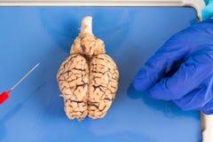 Intero cervello della mucca osservato da sopra Fotografia Stock
