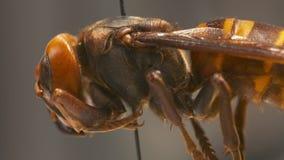 Intero ente della vespa di carta rossa archivi video