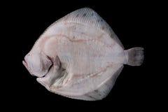 Intero lato sviscerato crudo del fondo dei pesci piatti Fotografia Stock